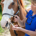Animal health provider medicating a large animal with veterinary pharmaceuticals using a disposable dosing syringe.